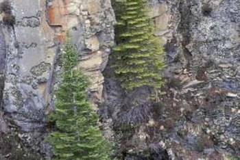 Wooly adelgids are one of the insects that can harm western hemlocks.