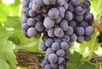 Sulfur dust can be applied to grapevines until fruit begins to show color.
