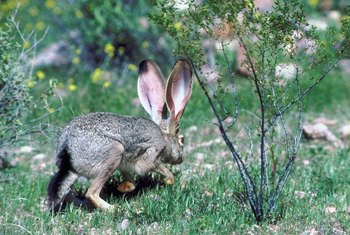 Jackrabbits enjoy munching their way through vegetable gardens.