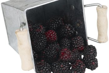 Patience will reward you with a bounty of blackberries.