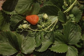 A strawberry pyramid makes it easy to harvest red, ripe fruit.