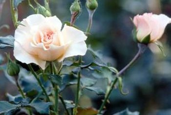Good care in the first few months helps roses bloom nicely the first year.