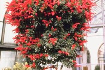 Plant flowering or foliage plants in spherical hanging baskets.