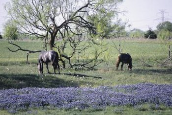 Native bluebonnets dot the Texas landscape in spring.