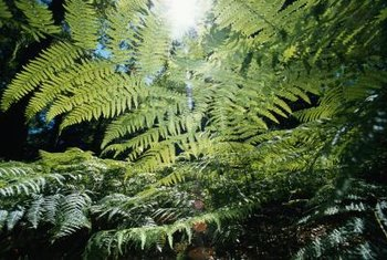 Lush tree ferns may brown when humidity or temperature is too low.