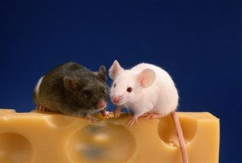 If food you leave out is being nibbled on, you might have mice in your home.