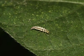 The lacewing larva impales thrips on its sharp jaws and injects the pests with corrosive enzymes.