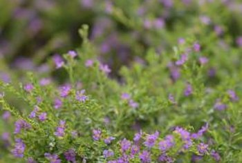 False heather may become invasive in frost-free climates.