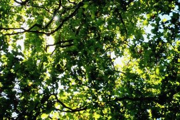 The lush foliage of mature oak trees may be marred by the appearance of pimple-like growths on leaves.