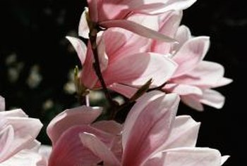 Star magnolia (Magnolia stellata) with pink and white winter blossoms grows in USDA zones 4 to 8.