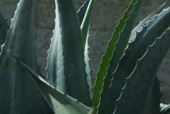 Aloe vera requires almost no care when planted in warm, dry conditions.