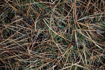 Austrian pines lose their needles, unlike Scotch pines, producing large amounts of litter.