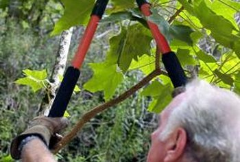 Lopping shears are your chief ally when pruning ornamental shrubs.
