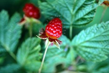 Though raspberry brambles are armed with thorns, the delicious fruits make up for the prickly branches.