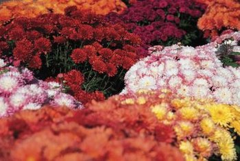 Mums begin blooming in late summer and continue into the fall.
