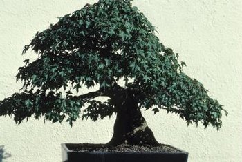 Bonsai are often shaped to mimic the appearance of ancient adult trees.
