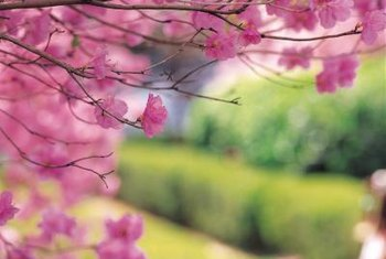 Ornamental cherry trees require little maintenance and care for proper growth.
