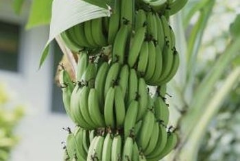 Banana plants grow well in locations without freezing temperatures.