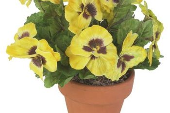 How To Grow Pansy Seeds Indoors Home Guides Sf Gate