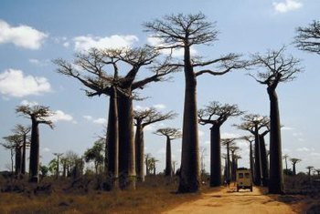 Baobab trees survive droughts by storing water in their swollen trunks.