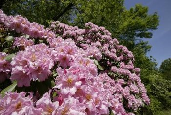 Rhododendrons thrive in shady conditions.