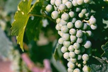 All grape varieties, including muscadine, boast a variety of health benefits.