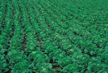 Cabbage is just one of the crops cabbage worms damage.