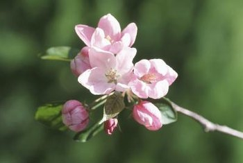 Apple blooming is sometimes divided into a first, or king, bloom stage and a full bloom stage.