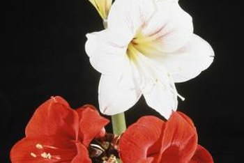Amaryllis blossoms make dramatic cut flower bouquets.