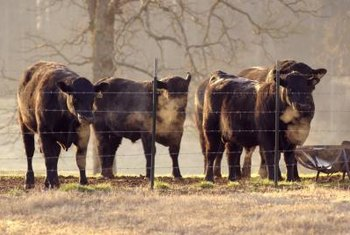 Strong fencing is required to raise cattle.