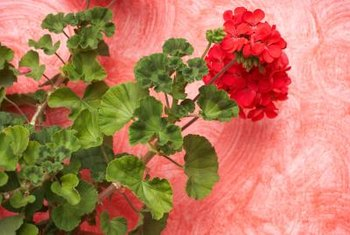 Zonal geraniums bloom with large umbels of red, pink or white flowers.