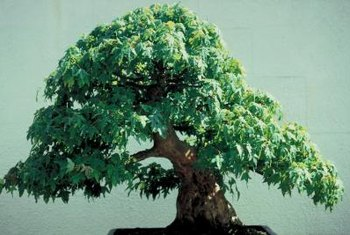 Trident maple bonsai are known for easily growing thick trunks.