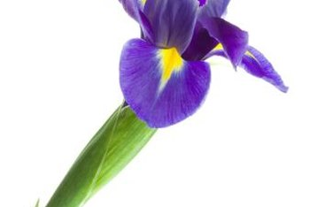 Protect your iris blossoms with the right groundcover.