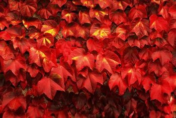 Fast-growing Virginia creeper provides great surface coverage and bright fall color.