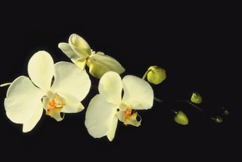 Moth orchid offshoots root quickly once separated from the parent plant.
