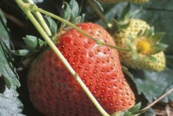 Short-day strawberries are suitable for cool, coastal climates.