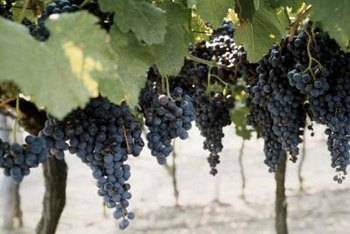 A delicious grape harvest depends on proper vine care.