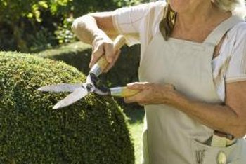 Shearing a formal hedge by hand can be tedious, and tiring.