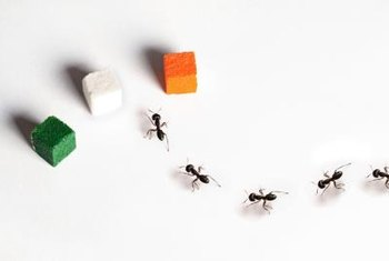 Ants locate food sources and leave a trail for other ants to follow to the feast.