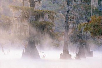 Cypress trees are often recognized by the cypress knees that grow up from the roots.