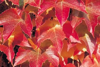 Virginia creeper leaves change to a vibrant crimson red in the fall.