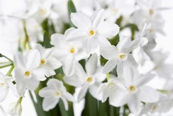 When grown inside, paperwhites can grow in water or pebbles instead of soil.