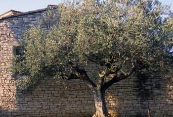 Certain conditions may increase the risk of pests in olive trees.