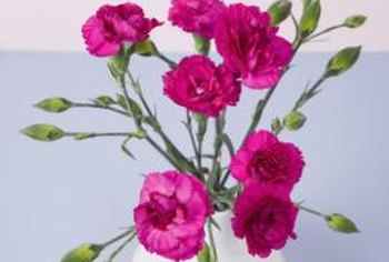 Carnations are ideal cut flowers, because they last a long time.