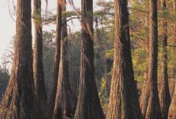 Many members of the cypress family are large trees that grow amid swamps.