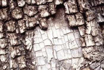 The bark of persimmon trees forms an unusual block pattern.