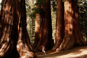 Native groves of giant sequoias inspire awe.