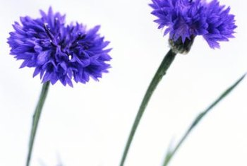 Cornflowers are also called bachelor's buttons, named for their use in boutonnieres.
