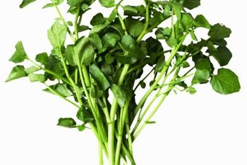 To identify watercress, look for opposite oval-shaped leaves with a smooth or wavy border.