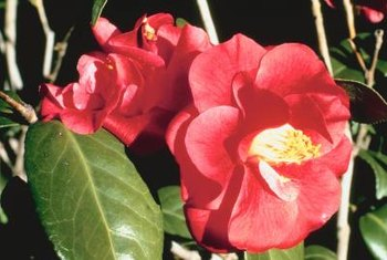 Japanese camellia shrubs bear long-lasting blooms.